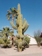 Phoenix front yard2