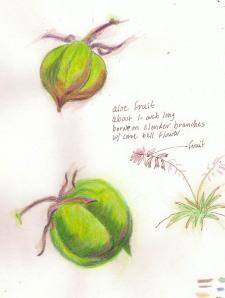aloe seedpod