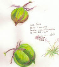 color pencil aloe seedpod
