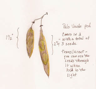 palo_verde_seed_pod