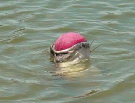 catfish with ball