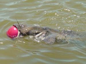 catfish swims with ball