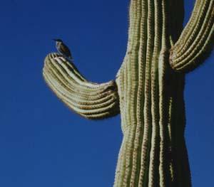 saguaro with bird