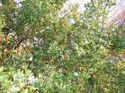 Chinese date, or Jujube tree