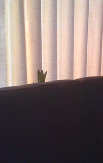 Corn plant peeking over the couch