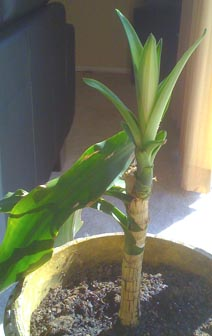 Corn plant, repotted