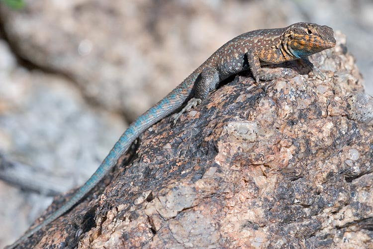 A common lizard in Arizona. Unfortunately, it sought refuge in the one place