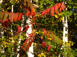 Red Sumac and Birches, (c) Bo Mackison, taken in October, 2007