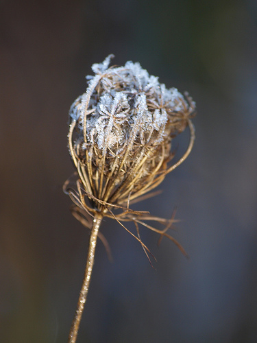 Queen Anne's Lace in Frost, (c) Bo Mackison, October 2008