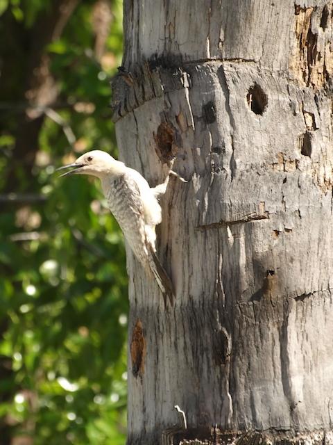 Gila Woodpecker, (c) Bo Mackison