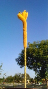 Truly bizare, but absolutely real: aloe flower spike, about 12-ft. high