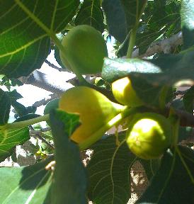 Almost-ripe figs