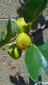 Two almost-ripe figs