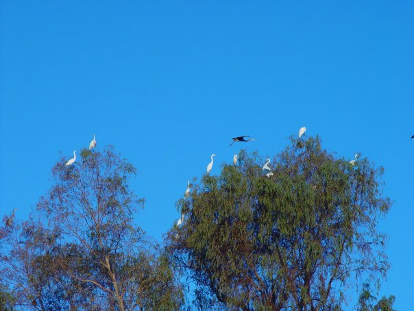 Snowy egrets, photograph by Betty Heim, © 2009