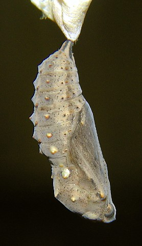 Chrysalis from http://tinyurl.com/2an4eov