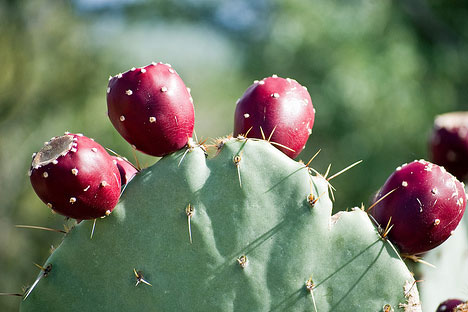 cactus fruit in spanish is cucumber a fruit or vegetable