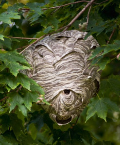Image result for wasp hive in a tree