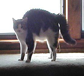 32i-arched-back-cat