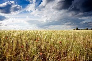 Wheat Field taken by Angel Villalba