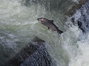 fish climbing up fish ladder. Hard work, but the only way he will get to spawning grounds.