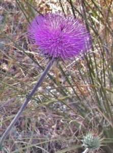 Thistles are blooming now, but in a few weeks, the thistle down will be ready for gathering.