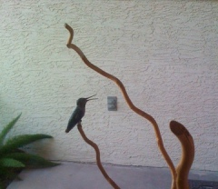 The hummingbird taking refuge and panting on the front porch.