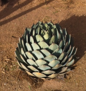 Make up your own metaphor about this agave. Nope, it's not an artichoke.