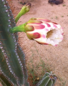 Fencepost cactus, about to bloom. The flowers are so large and generous for the climate.