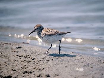 common-sandpiper_504_600x450