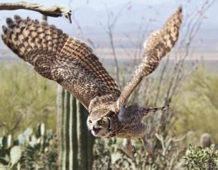 Great Horned Owl at Sonoran Desert Museum  © Walt Thomas