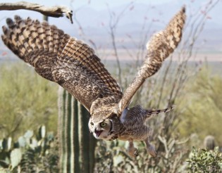 Great Horned Owl at Sonoran Desert Museum  © Walt Thomas