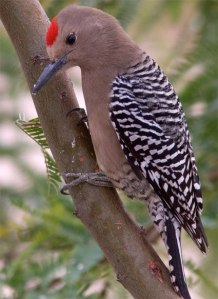Male Gila Woodpecker. Photo from the Cornell lab, where you can read more about them. Link below.