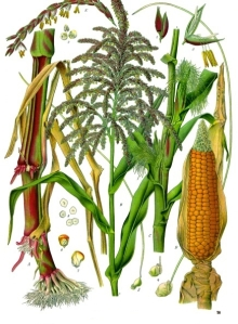 Zea_mays_-_Köhler–s_Medizinal-Pflanzen-283