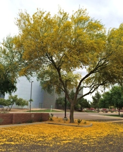 A different kind of tree. A Palo Verde whose brilliant yellow blossoms drift into desert snow this time of year.