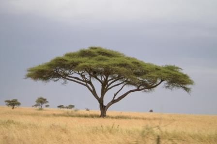 Work in Progress–Acacia Tree   QuinnCreative