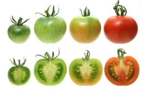 0628sp_tomato