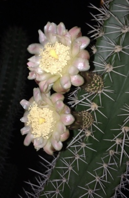 A true late bloomer: this organ pipe cactus blooms at night.