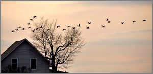 This is not my photo, but it is sandhill cranes. The photo is © carol parafenko and you can see more of her photography at: http://carolparafenko.com/blog%202010%20fall.html