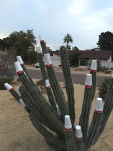A cactus protected from freezing weather. Sort of.