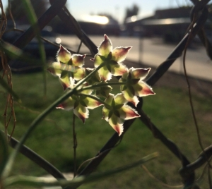 This flower is persistent, climbing up a fence every spring. I love this backlit vision.