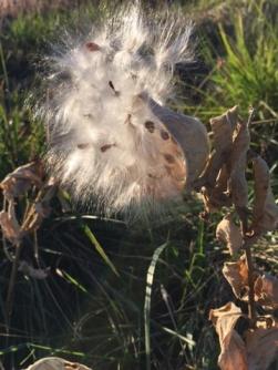 Milkweed pod, Montana.